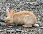 Порода кроликов Аляска