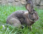 Порода кроликов Бельгийский великан (Фландр)