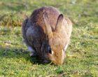 Порода кроликов Белка