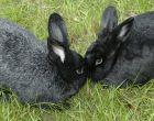 Порода кроликов Черно-бурый
