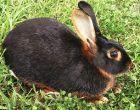 Порода Черно-огненный кролик