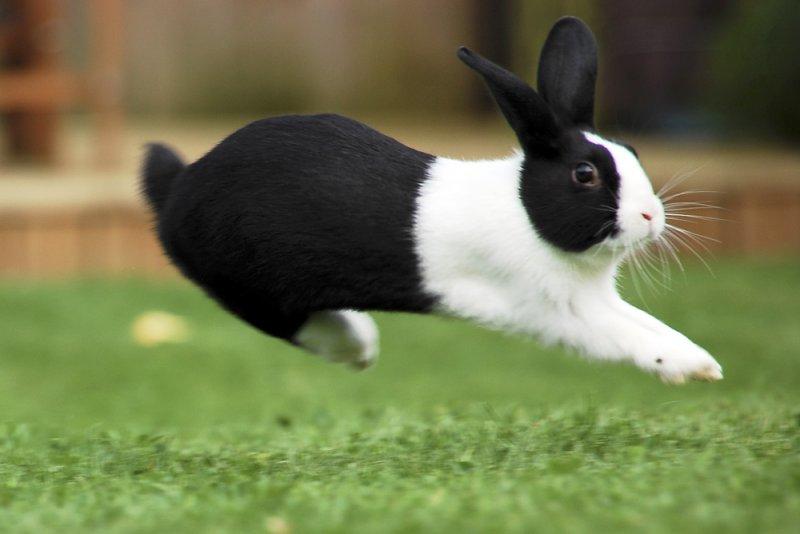 порода бабочка кролики фото