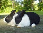 Порода кроликов Голландская (Датская)