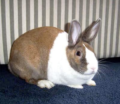 Показать породу голландских кроликов