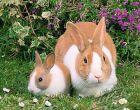 Порода Голландский кролик