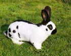 Порода кроликов Немецкий пестрый великан (Строкач)