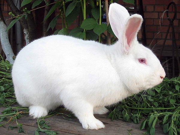 Порода кроликов Панон