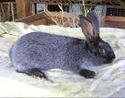 Порода кроликов Серебристый