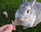 Порода кроликов Советская шиншилла