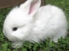 Порода кроликов Белая пуховая