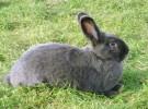 Порода кроликов Венский голубой