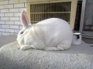 Порода кроликов Новозеландская белая