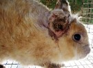 ушная чесотка кроликов