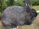 Порода кроликов Черно-бурый кролик