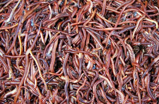 Виды червей для биогумуса