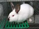 Порода кроликов Хиплус (Hyplus)