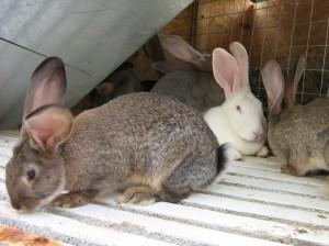Беременность крольчих