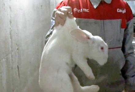Как правильно брать кролика