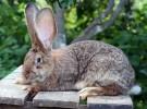 Порода-кроликов-Ризен